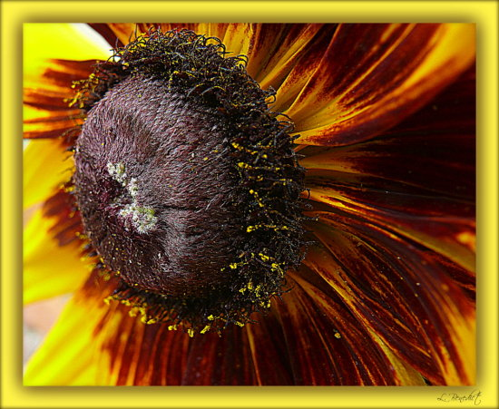 Rudbeckia flower.  My first year to have these.