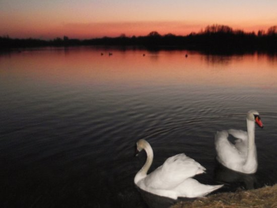 swans sunset saffi9 soft