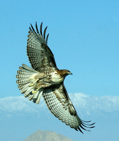 Hawk Hunting Mt San Jacinto wildlife raptor bird carlsbirdclub