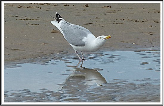 reflectionthursday seagull