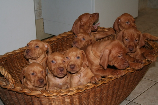 Animals animal vizsla vizslas hungarianvizsla puppy puppies