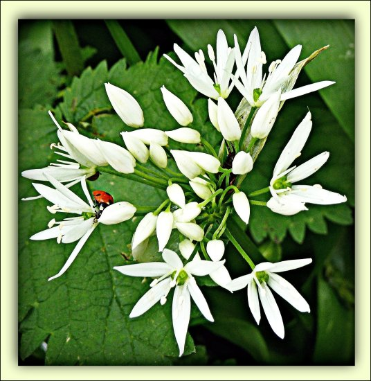 wildgarlic ramsons