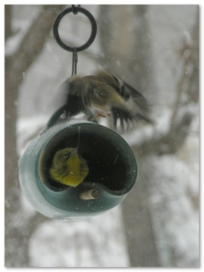 pinewarbler americangoldfinch birds nature birdfeeder snow