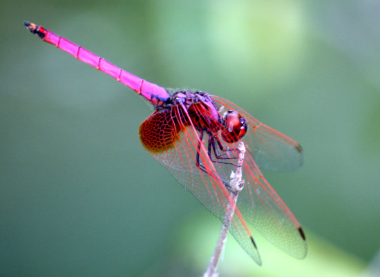 Dragonfly 2 (cropped)