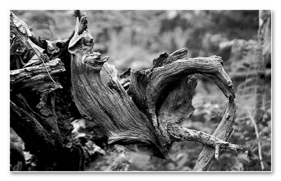 old tree yonghan grain mountain trail bw
