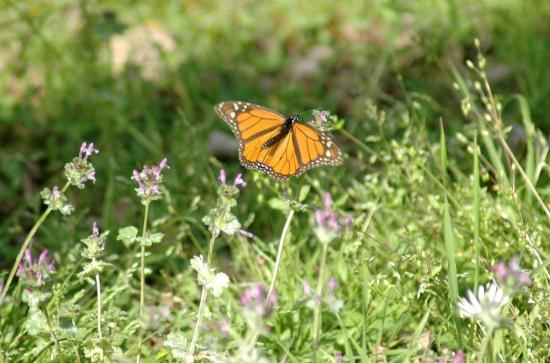 A monarch butterfly...a sure sign of Spring in Texas.