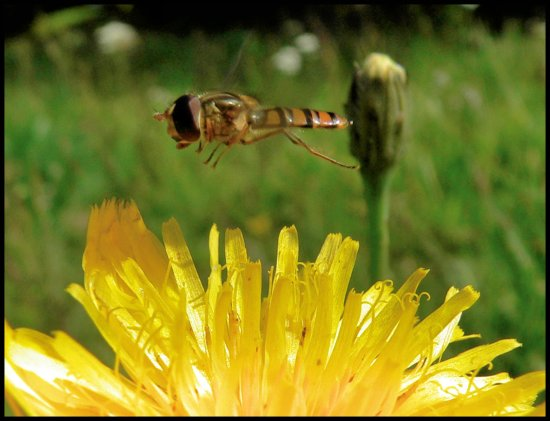 insect hoverfly flight