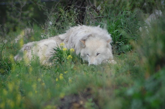 nature wild white wolf yellowstone