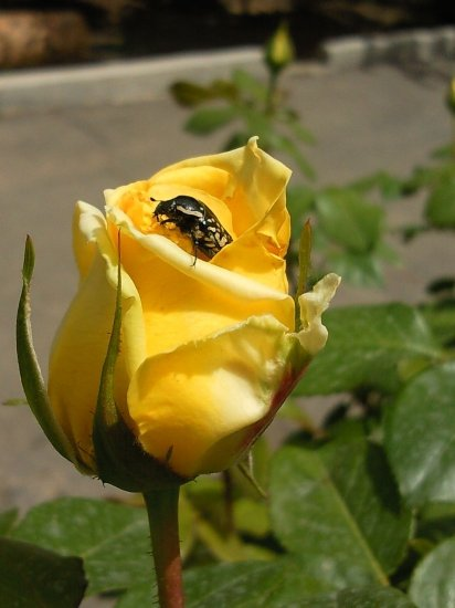 animal insect bug yellow rose
