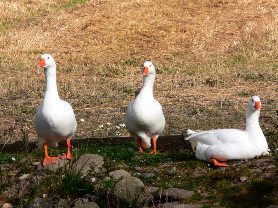 Geese sunning themselves....