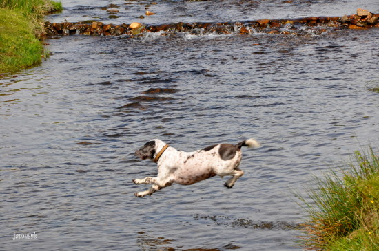 dartmoor rivers diving dog