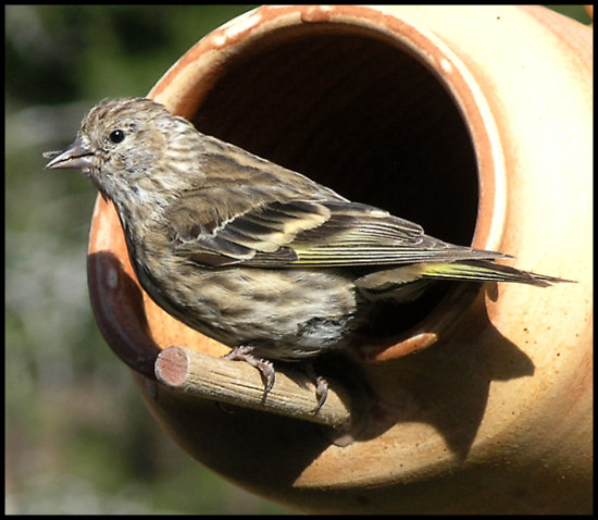 bird pinesiskin nature birdfeeder