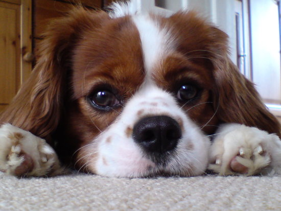 My sister-in-law's dog (Milo) on a recent visit to our house, butter wouldn't melt...  can also ...