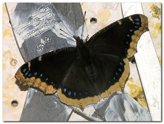 mourningcloak butterfly