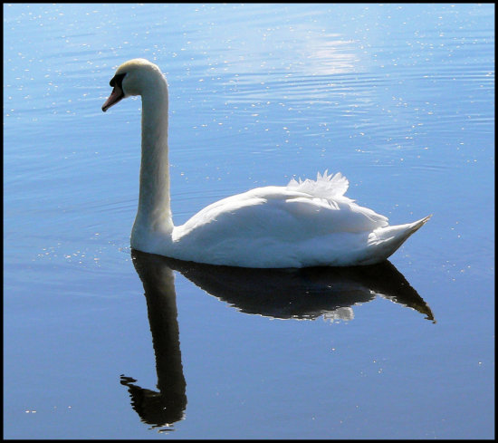 birds reflectionthursday swan