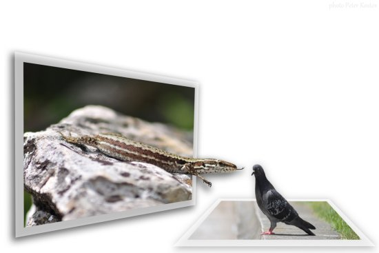 lizard pigeon reptile bird oob photoshop
