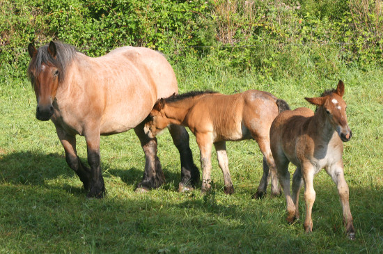 mother horse foals luxembourg