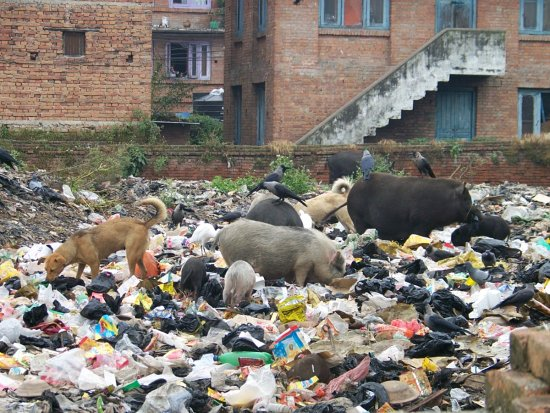 Nepal Bhaktapur Pigs Rubbish Weesue