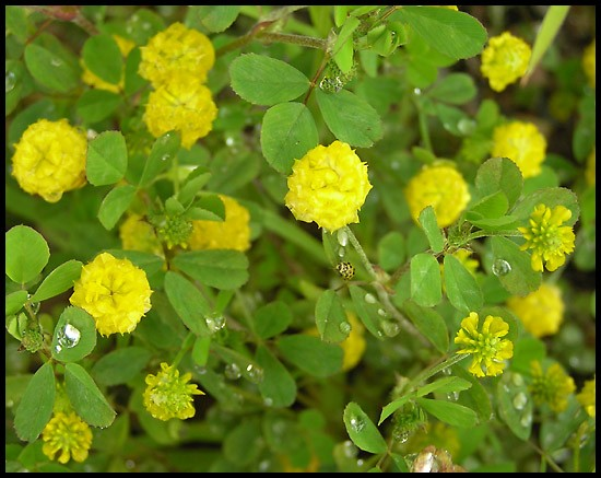Well known yellow clover flower xl77 roccommunity famous hop trefoil a yellow clover with tiny flowers mg28 mightylinksfo