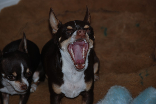 animal dog pet yawning