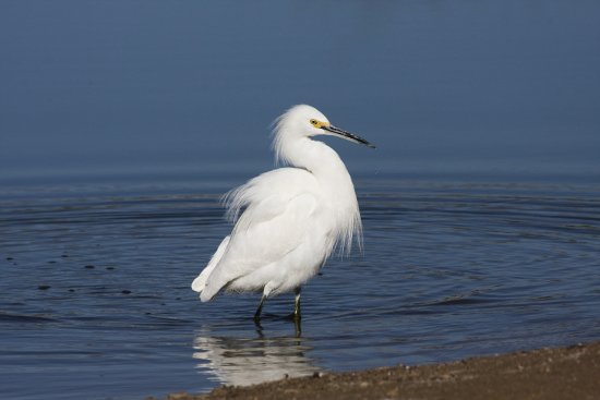 Snowy Egret at waters edge