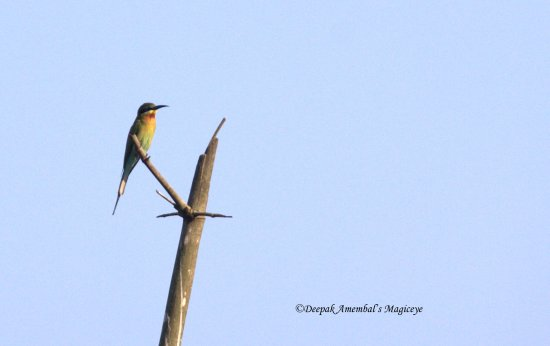 green bee eater dandeli bird karnataka india