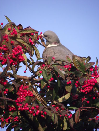 birds wood pigeon colours berries