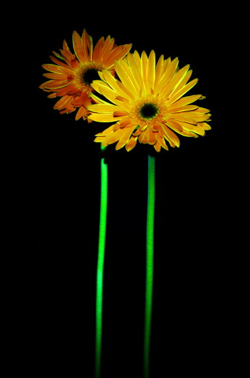 gerbera flower orange yellow green