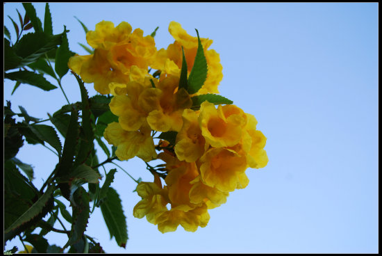 Kish Iran Yellow Flower