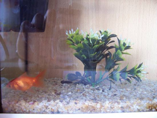 fish goldfish aqua aquarium gold