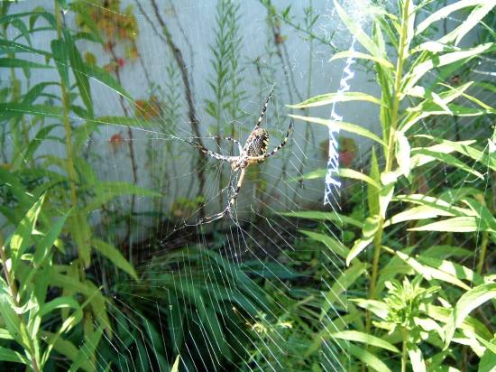 garden spider, lichterman nature center, memphis, tn