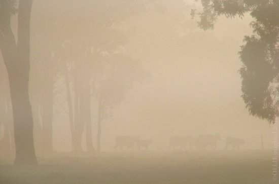 fog sunrise cows paddock perth hills littleollie