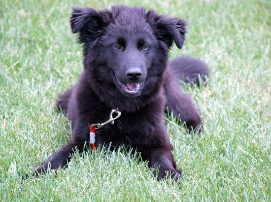 Puppy Black Lab Chow Border Collie Mix