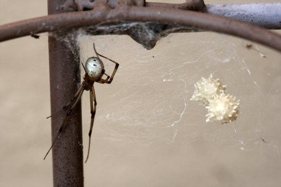 Pale Button Spider with egg sacs found in the garden - this spider is venomous but not life-threa...