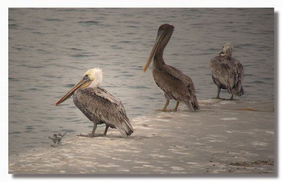 usa california marinadelrey bird pelican usax calix marix birdx