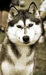 dog pet siberian husky