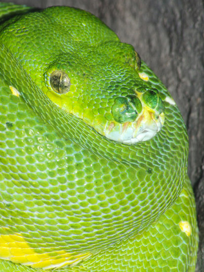 green tree python snake reptile animal nature wildlife