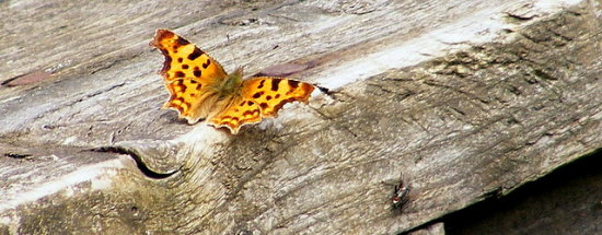 Comma Butterfly Insect Nature