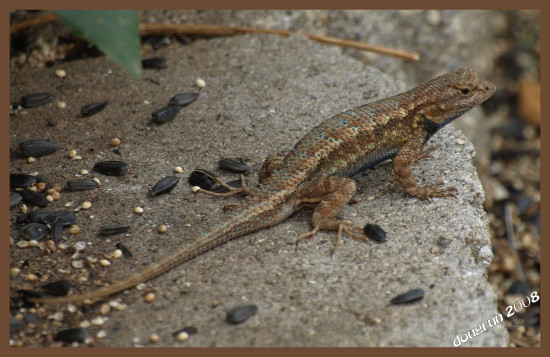 one of our herd of lizards living in the yard they like