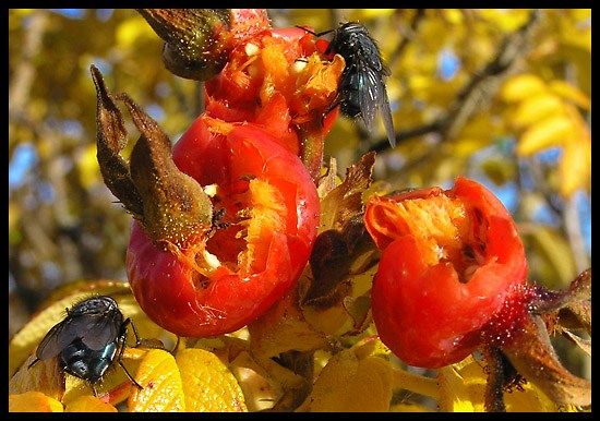 rosehips flies