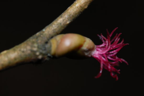 Flower of hazel.