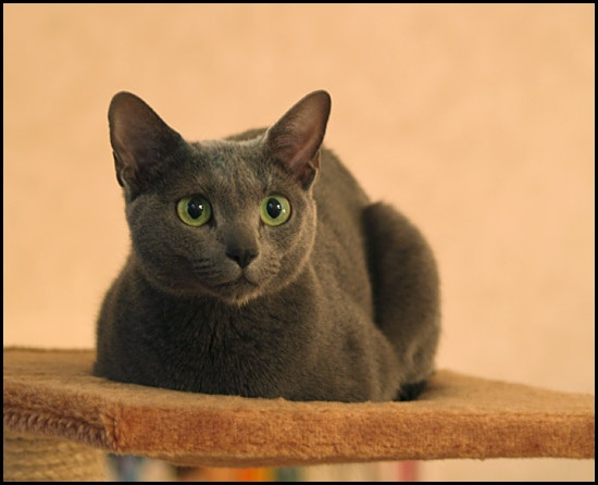 gina russianblue cat