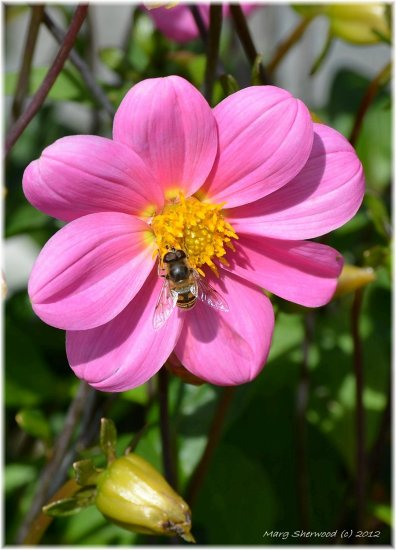 dalhia flower bee garden home