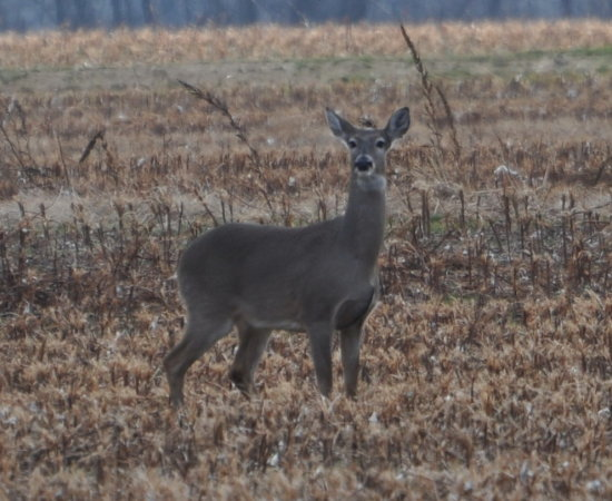 deer doe bottom wildlife white tail early moring swampdaddy