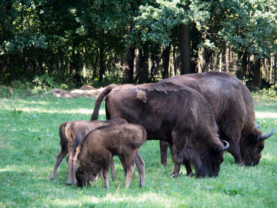 Europeans bisons