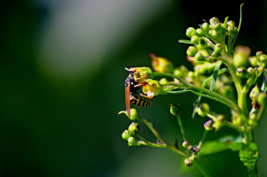 wasp on flowers