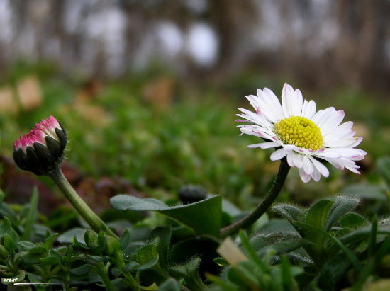 daisy flower duo winter