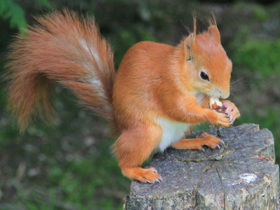 red squirrel at the BWC