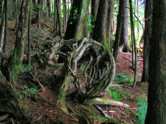 rain forest roots