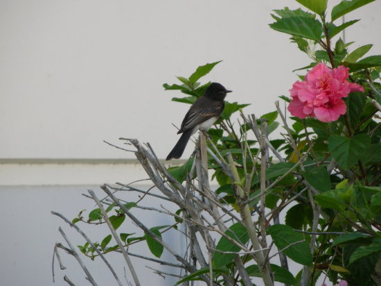black phoebe bird jdahi64